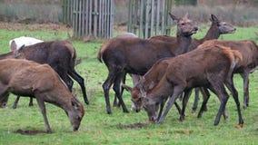 Macho de los hinds de los ciervos comunes y de los ciervos en barbecho almacen de video