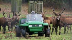 Macho de los hinds de los ciervos comunes y de los ciervos en barbecho que es alimentado metrajes