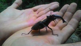 Macho del escarabajo Fotografía de archivo