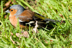 Macho do Chaffinch em repouso Fotografia de Stock