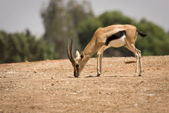 Macho do Gazelle de Thomson Imagens de Stock Royalty Free
