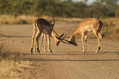 Macho do Impala Fotografia de Stock