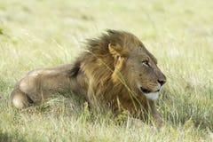 Macho do leão na pastagem fotos de stock