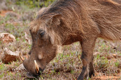 Macho do warthog do Close-up Fotos de Stock Royalty Free