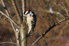 Macho Downy do Woodpecker Imagens de Stock Royalty Free