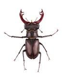 Macho-escarabajo Fotografía de archivo