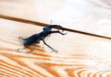 Macho-escarabajo grande en una tabla Fotos de archivo