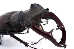 Macho-escarabajo masculino Fotografía de archivo