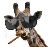 Macho giraffe with cool sunglasses smoking a cuban cigar like a boss Stock Photography