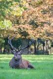 Macho herido de los ciervos comunes Imagenes de archivo