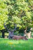 Macho herido de los ciervos comunes Imagen de archivo libre de regalías