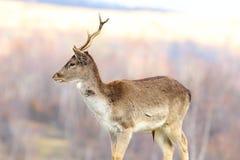 Macho joven de los ciervos en barbecho Fotografía de archivo libre de regalías