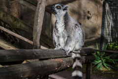 Macho lemur enjoying the sun in Skansen zoo Royalty Free Stock Photos