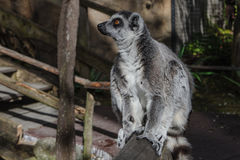 Macho lemur enjoying the sun in Skansen zoo Royalty Free Stock Photo