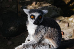 Macho lemur enjoying the sun in Skansen zoo Stock Photos