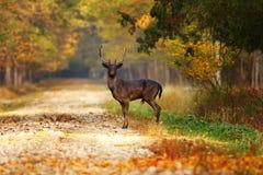 Macho majestuoso de los ciervos en barbecho en el camino forestal fotografía de archivo