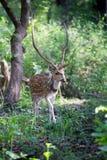 Macho manchado de los ciervos en bosque Fotos de archivo libres de regalías