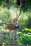 Macho manchado de los ciervos en hábitat Foto de archivo libre de regalías