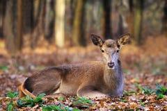 Macho o hueva-ciervos europeos imagenes de archivo