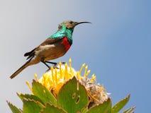 Macho pouco sunbird colocado um colar dobro Fotos de Stock Royalty Free