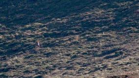 Macho real de los ciervos comunes, elaphus del cervus, golpeando las astas durante celo en los cuarzos ahumados NP, Escocia almacen de metraje de vídeo
