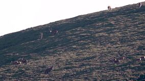 Macho real de los ciervos comunes, elaphus del cervus, persiguiendo hinds, harén durante en celo estacional, cuarzos ahumados NP, almacen de video