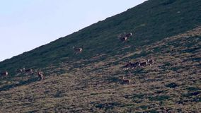 Macho real de los ciervos comunes, elaphus del cervus, persiguiendo hinds, harén durante en celo estacional, cuarzos ahumados NP, metrajes