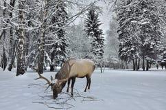 Macho siberiano salvaje en el paisaje del bosque del invierno en las nevadas Fotografía de archivo libre de regalías