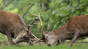 Machos de los ciervos comunes en celo almacen de video