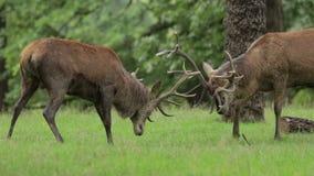 Machos de los ciervos comunes en celo metrajes