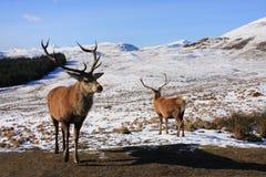 Machos de los ciervos rojos Foto de archivo