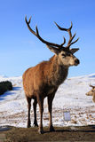 Machos de los ciervos rojos Imágenes de archivo libres de regalías