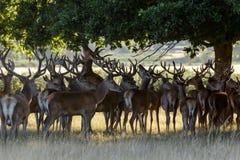Machos de los ciervos rojos fotografía de archivo