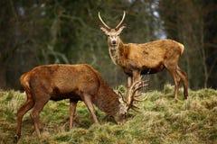 Machos de los ciervos rojos Foto de archivo libre de regalías