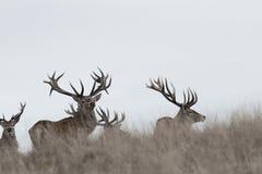 Machos impresionantes de los ciervos comunes fotos de archivo libres de regalías