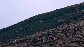 Machos jovenes que luchan en medio de la rodera estacional en una cañada, cuarzos ahumados NP, Escocia de los ciervos comunes metrajes