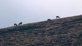 Machos jovenes que luchan en medio de la rodera estacional en una cañada, cuarzos ahumados NP, Escocia de los ciervos comunes almacen de metraje de vídeo