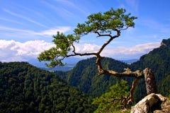 Macht van aard. Pijnboom op Sokolica Stock Afbeeldingen