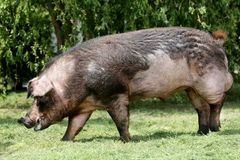 Machtig duroc rassenvarken die op weide eten stock foto