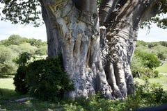 Machtige dikke Baobabboomstam in Afrika royalty-vrije stock foto's