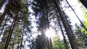 Machtige groene sparren en pijnboombomen in zonnige lichte stralen stock footage