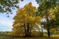 Machtige oude Linde, die zich alleen op de rand van een overblijfsel eiken bosje bevinden De gouden herfst, weelderig geel geblad royalty-vrije stock afbeelding