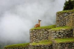 Λάμα σε Machu Picchu, Περού Στοκ Εικόνα