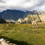 Machu Picchu Alpacas Stock Photo