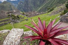 Machu Picchu Flora. Bromeliad plant growing on ruin walls in Machu Picchu Stock Photography