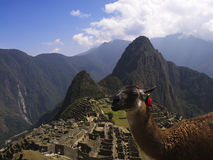 Machu Picchu Lama. A Lama looking at the camera with Machu Picchu and surrounding mountains in the background Stock Photo