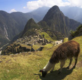 Machu Picchu Lama. A Lama grazing in a terrace with Machu Picchu and surrounding mountains in the background Royalty Free Stock Photography