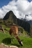 Machu Picchu lama Fotografering för Bildbyråer