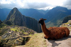Machu Picchu and the Lama Stock Image