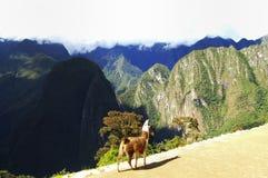 Machu Picchu lama - Peru Zdjęcia Royalty Free